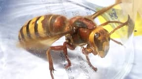 Killer Hornets Set To Invade Britain This Summer, Experts Warn