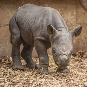 Chester Zoo Looking For Someone To Care For Its Rhinos