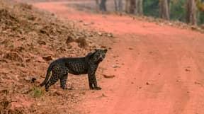 Stunning Black Leopard Caught On Camera In Rare Photos