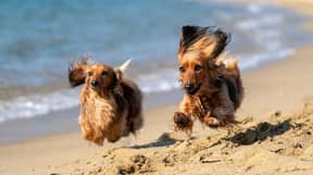 Dogs Banned From Cornwall Beaches During Summer