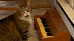 Cat Has Tiny Piano Which He Plays When He's Hungry