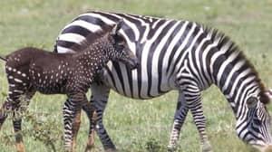 Newborn Zebra With Rare Polka Dot Markings Is Spotted In Kenya