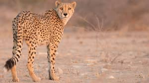 Cheetahs Could Go Extinct In Eastern Africa Because They're Being Sold As Pets