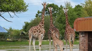 Chester Zoo Is Hiring Someone To Look After Its Giraffes, Zebras And Rhinos
