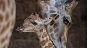 Incredible Footage Captures Birth Of Endangered Giraffe Calf At Chester Zoo