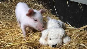 Woman Rescues Piglet Who Fell Off The Back Of A Truck On The Way To Abbatoir