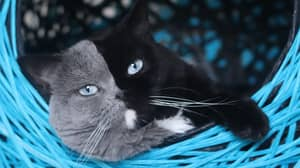 Cat With Unique Two-Tone Face Fathers Kittens In Each Of Its Colours