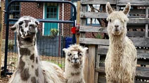 You Can Mingle With Alpacas And Llamas At This Airbnb Treehouse