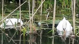 RSPCA Launches Search After Swan Is Shot Dead While Sitting On Her Nest Of Eggs