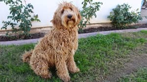 Labradoodle Creator Says The Breed Is His Life's Regret