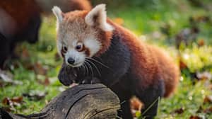 Red Panda Cubs Have Emerged From Their Den For The First Time At Chester Zoo
