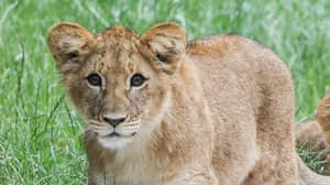 Newborn Lion Cub Freezes To Death In Subzero Temperatures At UK Zoo