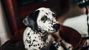 Dalmatians Are Officially the Cutest Dog Breed, According to Science