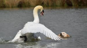 Dog Owners Slammed As Labrador Attacks Swan Protecting Its Young