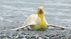 Wildlife Photographer Snaps 'Once-In-A-Lifetime' Photos Of Super Rare Yellow Penguin
