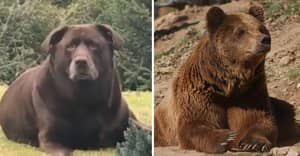 Fluffy Dog Is Mistaken For A Bear Due To Its Huge Ten Stone Frame