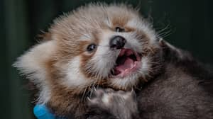 Two Red Panda Cubs Have Been Born At Chester Zoo And They Are Adorable