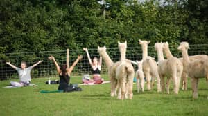 You Can Now Do Yoga In A Field Of Alpacas In The UK
