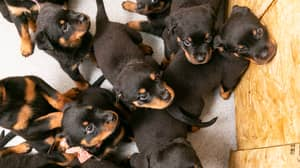 Rottweiller Gives Birth To Massive Litter Of 16 Puppies