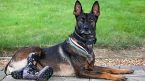 Hero Military Dog Who Suffered Life-Changing Injuries Handed Bravery Award