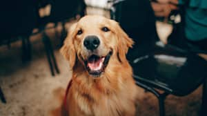 Golden Retrievers Are Officially The Most Popular Dogs