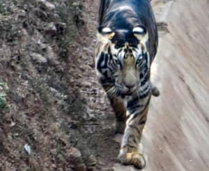 Amateur Photographer Captures Incredibly Rare 'Black' Tiger In India