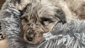 Family Slam 'Inexperienced Breeder' After £7,000 Puppy Dies