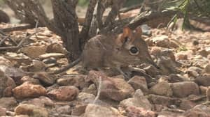 Tiny Elephant Shrew Species Missing For 50 Years Reappears In East Africa
