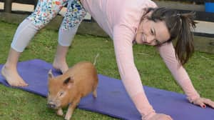 Pilates With Mini Pigs Sounds Like Our Kind Of Excercise