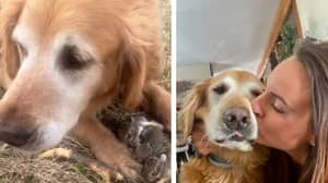 Golden Retriever Rescues Six Bunnies In Adorable Footage