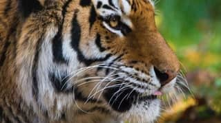 Tiger At US Zoo Tests Positive For COVID-19 After Displaying Symptoms