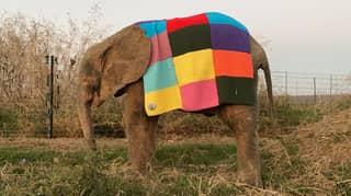 Adorable Grandma Knits Elmer Blanket For Baby Elephant