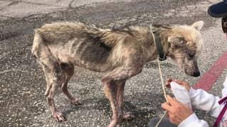 Husky Starved By Cruel Owner Undergoes Heartwarming Transformation