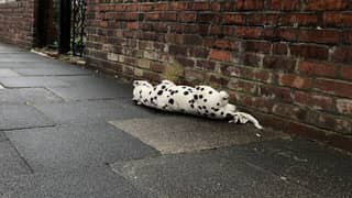 Woman Left Hilariously Embarrassed Saving 'Injured Dalmatian' That Turned Out To Be A Toy