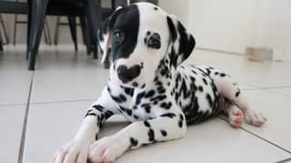 Dalmatian With Heart Shaped Nose Is Learning To Be An Assistance Dog