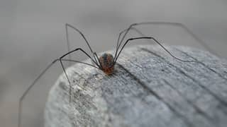 Huge Daddy Long Legs Are Invading UK Homes And It Sounds Terrifying