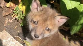 Why Baby Foxes Are The Wholesome Content We All Need During Lockdown