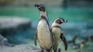Chester Zoo Is Hiring Someone To Look After Its Penguins