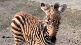 Baby Zebra Dies After Being Spooked By Fireworks On Bonfire Night