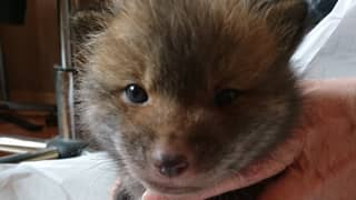 Man Rescues 'Puppy' From The Side Of The Road Only To Find Out It's Actually A Fox