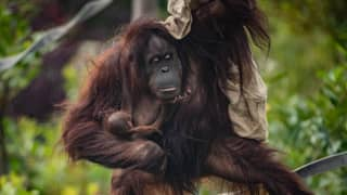 Critically Endangered Orangutan Born At Chester Zoo Providing Hope For Species