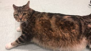 Giant Chonky Cat Called Lasagne Dumped At Animal Shelter Finds Fur-Ever Home