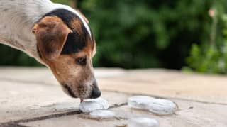 Blue Cross Reveal How To Safely Give Your Dog Ice Cubes In The Sun