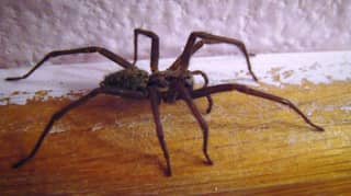 Giant Spiders 'The Size Of A Hand' Invading Homes Across UK