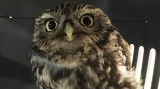An Adorable Rescue Owl Found In A Ditch Was 'Too Fat To Fly'