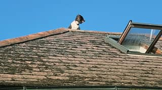 Dog Climbs Onto Roof While Trying To Escape While His Owners Are Out