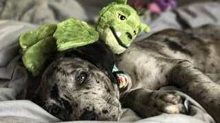 Adorable Great Dane Is Still Obsessed With The Cuddly Toy She Had As A Puppy