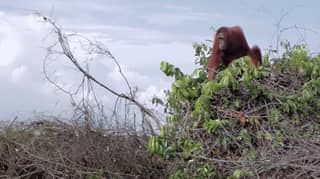 'A Life On Our Planet' Viewers In Tears Over Heartbreaking Clip Of Orangutans Left Homeless Following Deforestation