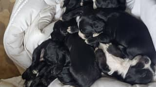 Family 'Heartbroken' As Dog And Her Litter Of Seven Puppies Stolen