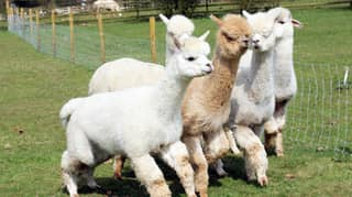 ​You Can Now Take A Herd Of Adorable Alpacas For A Walk